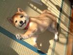 Щенок корейской собаки Хиндо