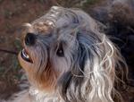 Девочка собака лион-бишон