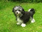 Собака лион-бишон на траве