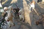 Собаки лаготто-романьоло