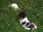 Щенки Лаготто-романьоло в траве