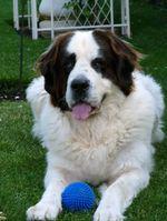 Собака ландсир с мячом