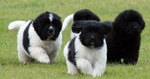 Щенки собаки ландсир