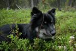Собака лапинпорокойра в траве