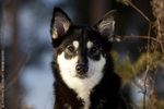 Портрет собаки лапинпорокойра