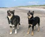 Собаки лапинпорокойра
