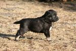 Щенок собаки лапинпорокойра