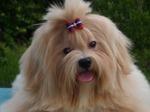 Морда собаки Лхаса Апсо