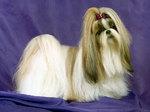 Портрет собаки Лхаса Апсо