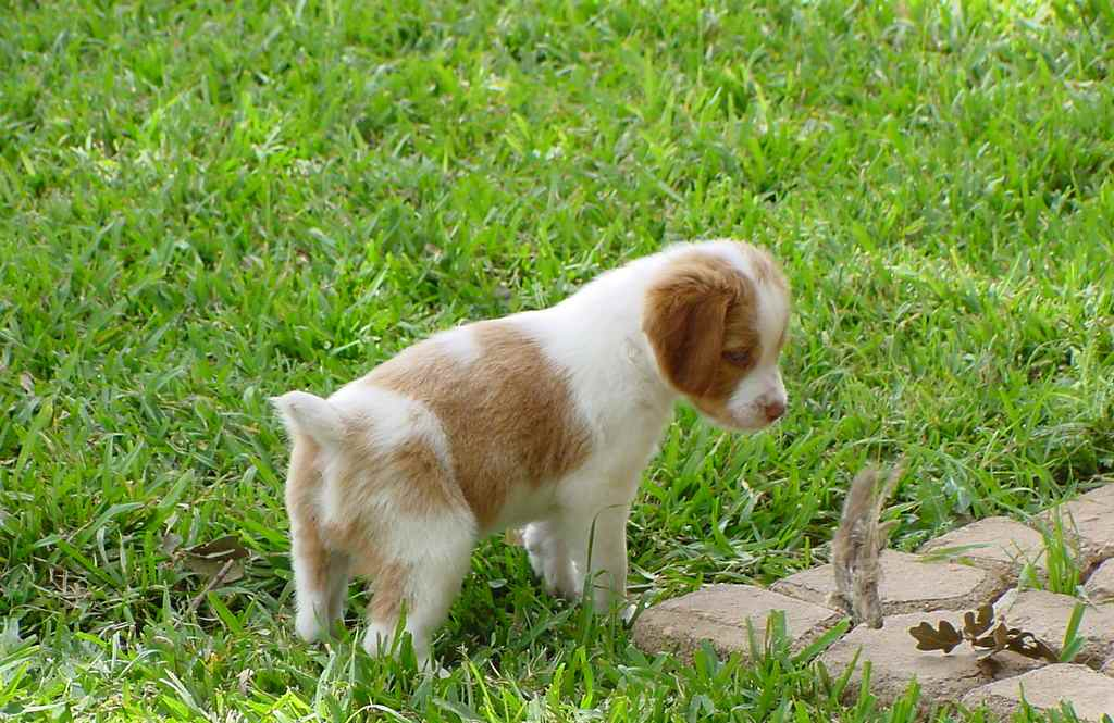 Бетховен порода собаки фото