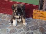 Милый щенок румынской карпатской овчарки
