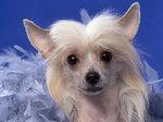 Очаровательная китайская хохлатая собака на голубом фоне