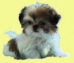 Прекрасная китайская императорская собака