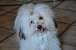 Прекрасные девочки собаки котон-де-тулеар