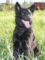Прекрасная хорватская овчарка в траве