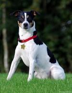 Прекрасная датско-шведская фермерская собака