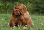 Прекрасные щенки бордоского дога