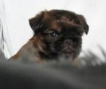 Прекрасный щенок малых бельгийских собак