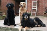 Прекрасные собаки ховаварт