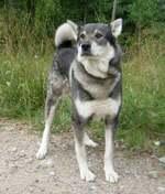 Прекрасная собака емтхунд