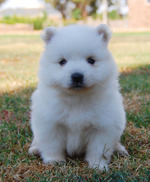 Милый щенок японского шпица