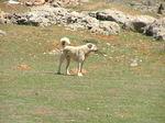Прекрасная собака кангал