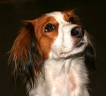 Прекрасная собака коикерхондье