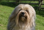 Прекрасная собака лион-бишон