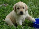 Красивый щенок лабрадора ретривера