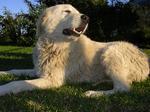 Прекрасная мареммо-абруццкая овчарка