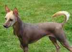 Прекрасная мексиканская голая собака