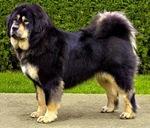 Прекрасная московская водяная собака