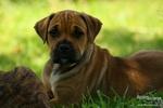 Прекрасная собака Ка де Бо
