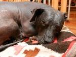 Прекрасная перуанская голая собака