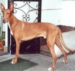 Прекрасная фараонова собака