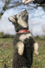 Очаровательная собака пуми