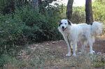 Прекрасная собака торньяк