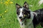 Прекрасный уэльская овчарка