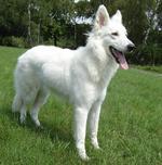 Прекрасная белая швейцарская овчарка