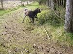 Малая мюнстерлендская легавая в лесу
