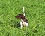Малая мюнстерлендская легавая на траве