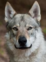 Величественная чехословацкая волчья собака