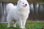 Величественная самоедская собака