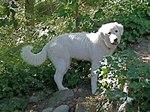Мареммо-абруццкая овчарка в траве