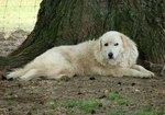 Мареммо-абруццкая овчарка на фоне дерева