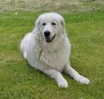 Мареммо-абруццкая овчарка на траве
