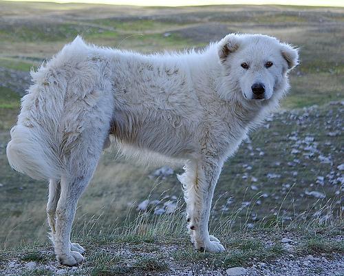 Мареммо-абруццкая овчарка фото