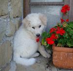 Щенок мареммо-абруццкая овчарка с цветком