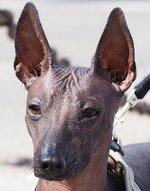 Морда мексиканской голой собаки