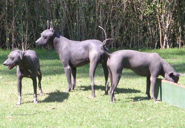 Мексиканская голая собака фото